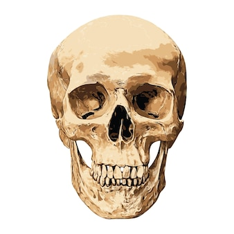 Human skull in front aspect isolated.