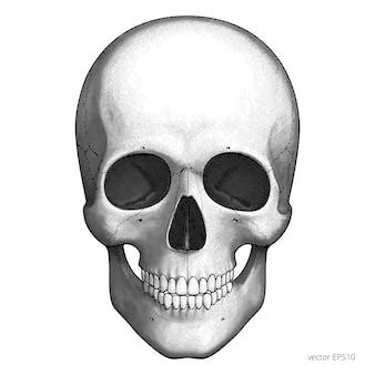 인간의 두개골. 벡터 에칭. 해골의 조각 머리. 빈티지 스타일의 클래식 블랙 해칭. 교육 및 의료 디자인을위한 두개골의 고립 된 클립 아트.