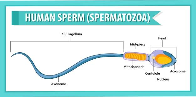 人間の精子または精子の細胞構造