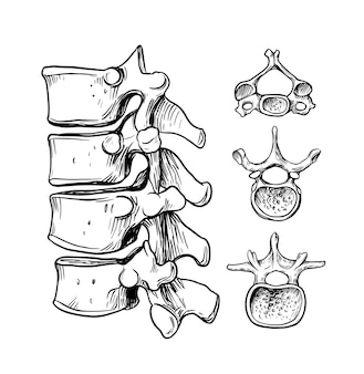 Human spine. the structure of the cervical, thoracic, lumbar vertebra.