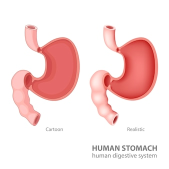 Human stomach in cartoon and realistic