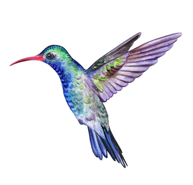 Hummingbird bird isolated on white. watercolor.