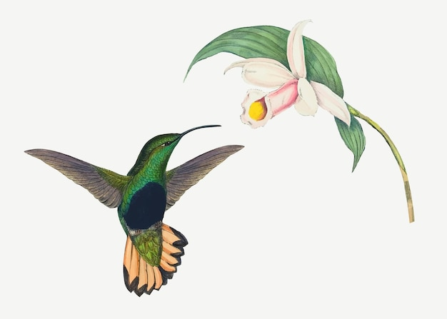 Hummingbird vector animal art print, remixed from artworks by john gould and henry constantine richter