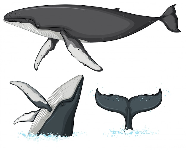 Humpback whale character on white background
