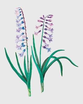 Hyacinth in vintage style