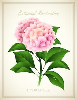 Hydrangea. botanical vector illustration