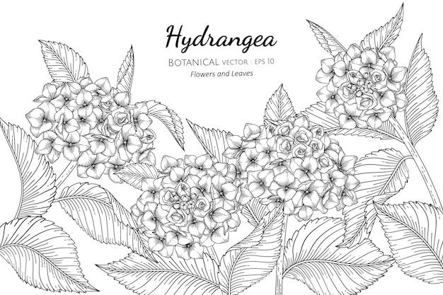 Цветок гортензии и листья ботанические рисованной иллюстрации.