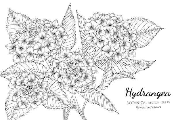 Цветок гортензии и лист рисованной ботанические иллюстрации с линией искусства на белом фоне.