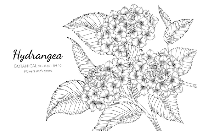 Цветок и лист гортензии в рисованной ботанической иллюстрации