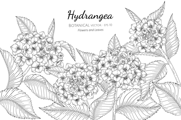 Hydrangea flower and leaf botanical hand drawn illustration.