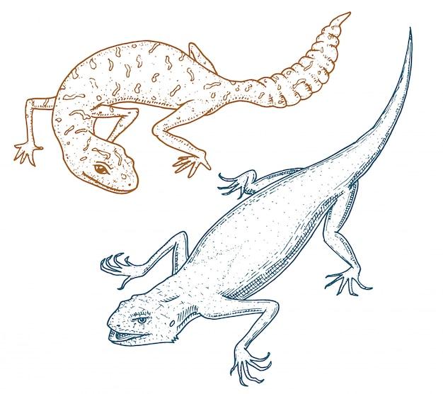 イビサの壁のトカゲ、一般的なヒョウまたは斑点のある尾のあるヤモリ、エキゾチックな爬虫類または青いヘビ、赤い山、シナイレインボーアガマ。自然の中で野生動物。刻まれた手描き。