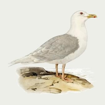 Iceland gull bird hand drawn