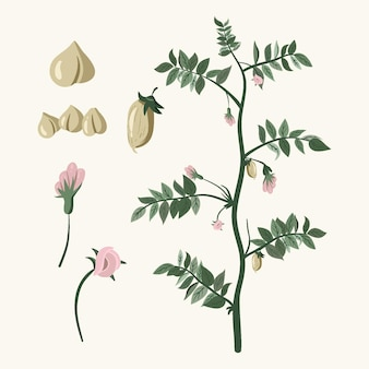 Illustrated chickpea beans and plant