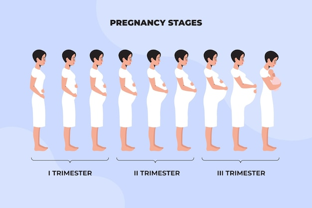 Illustrated different pregnancy stages