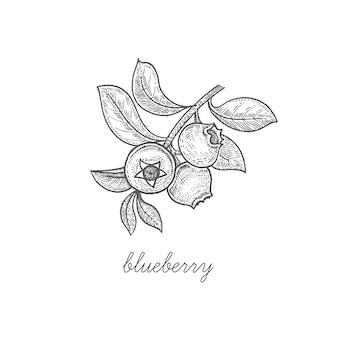 Illustration of berry blueberries.
