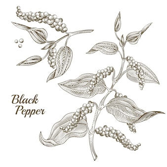 Illustration of black pepper plant with leaves and peppercorns, isolated on white background.