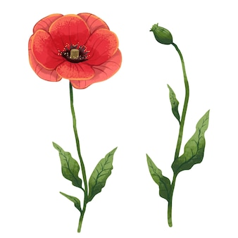 Illustration a blooming red poppy and an unopened poppy