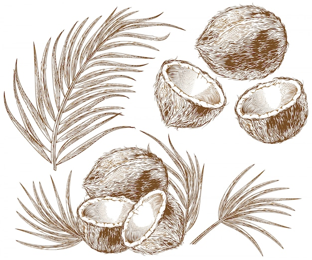 Illustration of coconut and palm leaves