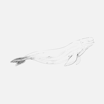 Illustration drawing style of beluga whale