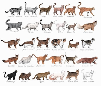 Illustration drawing style of cat breeds collection