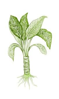 Illustration fresh aglaonema or dieffenbachia leaves