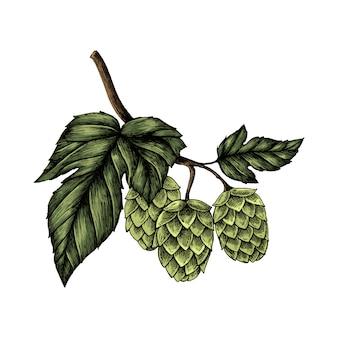Illustration of fresh hops on a branch