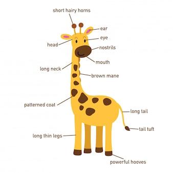 Illustration of giraffe vocabulary part of body.vector