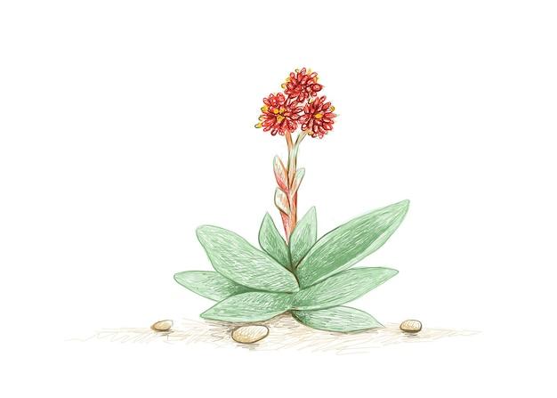 붉은 꽃과 즙이 많은 crassula falcata 또는 프로펠러 식물의 그림 손으로 그린 스케치