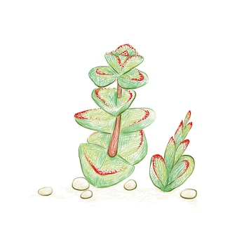 Crassulamarnieriana翡翠ネックレス中国の塔またはワーム植物のイラスト手描きスケッチ