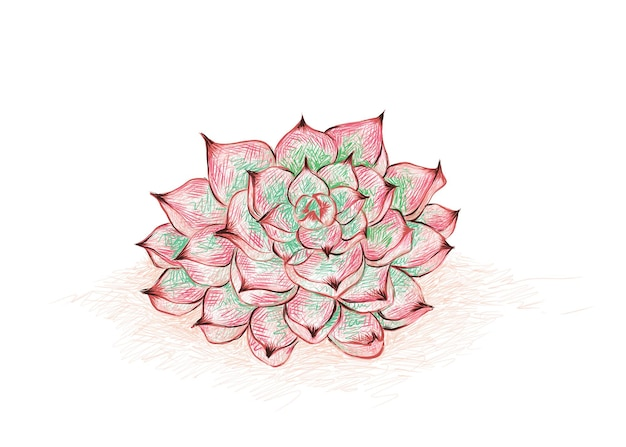 エケベリアcolorataのイラスト手描きスケッチ庭の装飾のための多肉植物