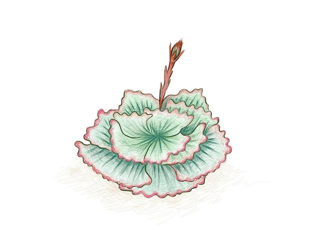 Echeveria 또는 잔광의 그림 손으로 그린 스케치. 정원 장식용 다육 식물.