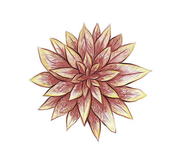 그림 graptoveria 또는 프레드 아이브스의 손으로 그린 스케치. 정원 장식용 다육 식물