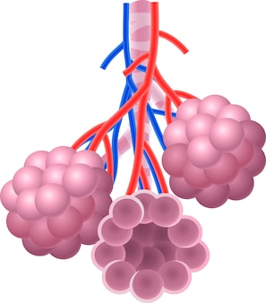 Illustration of human alveoli structure anatomy