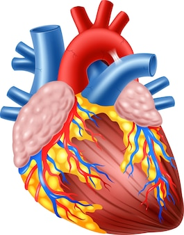 Illustration of human hearth anatomy