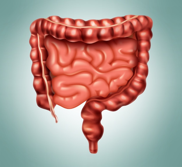 Illustration of human intestines in digestive system