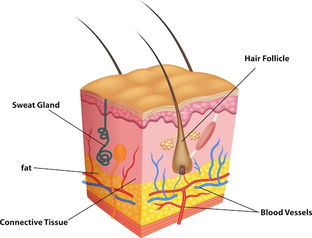 Illustration of the layer of skin and pores anatomy