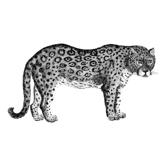 Illustration of leopard and panther