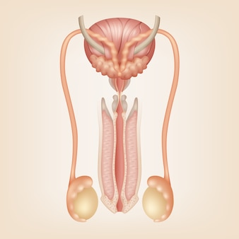 Illustration of male reproductive system
