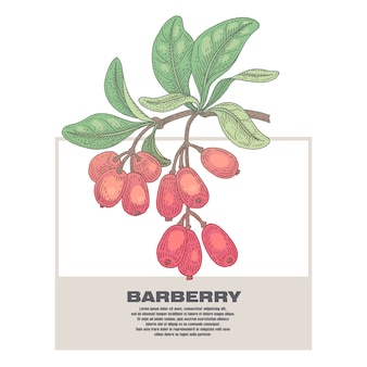 Illustration of medical herbs barberry.