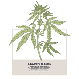 Illustration of medical herbs cannabis.