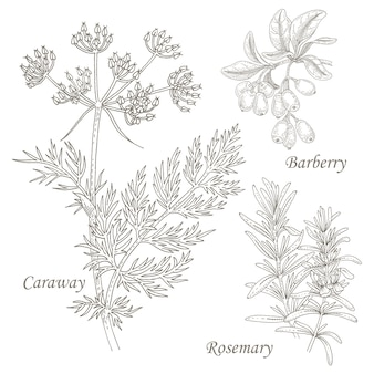 Illustration of medical herbs caraway, barberry, rosemary.