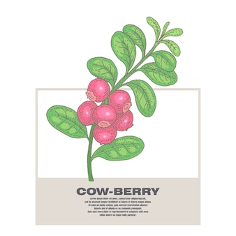 Illustration of medical herbs cow-berry.
