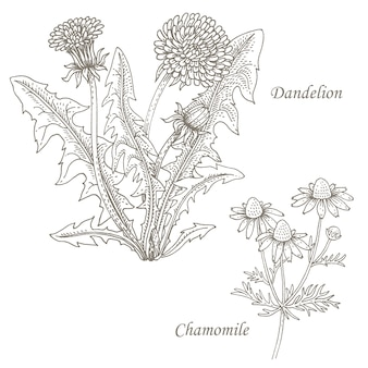 Illustration of medical herbs dandelion, chamomile.