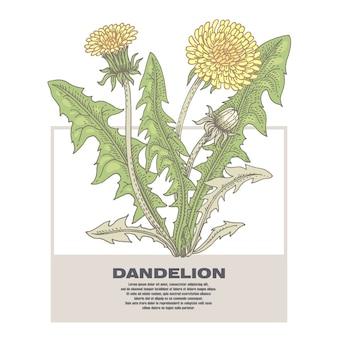 Illustration of medical herbs dandelion.