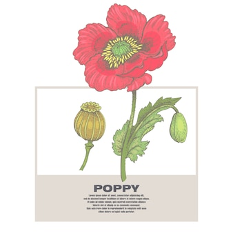 Illustration of medical herbs poppy.