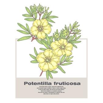 Illustration of medical herbs potentilla fruticosa.