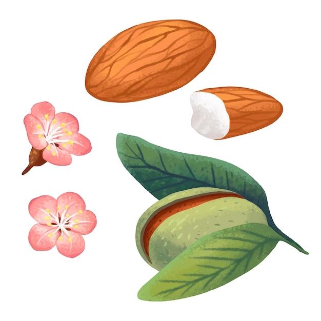 아몬드 너트, 아몬드 꽃, 잎, 닫힌 아몬드 너트 세트의 그림