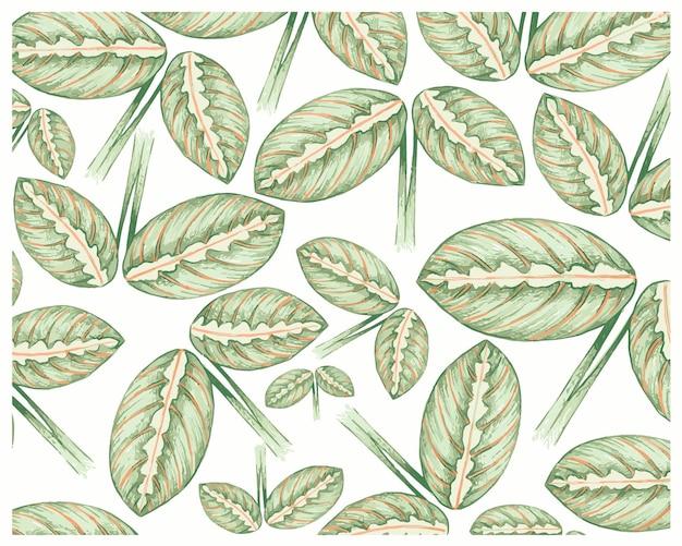 Calathea makoyana 또는 공작 식물의 그림