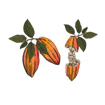 Иллюстрация какао-бобов с зелеными листьями в стиле гравировки