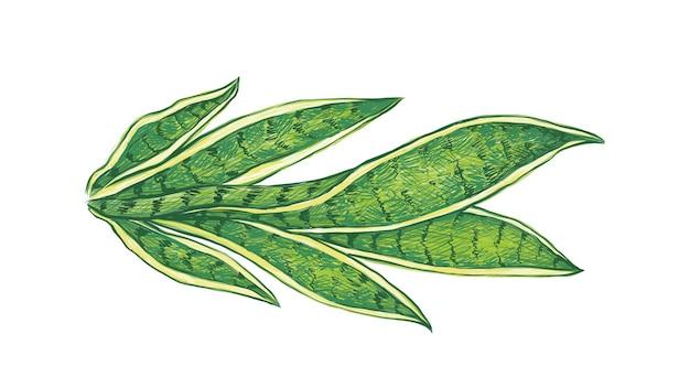 白のサンセベリアの植物のイラスト